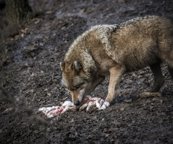 The feast - Gray wolf